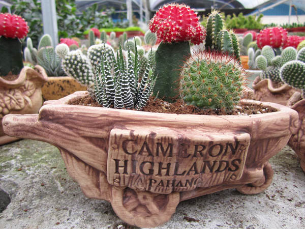cactus point cameron highlands attraction
